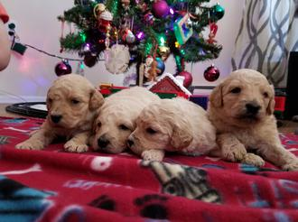 Labradoodle Goldendoodle puppy for salepuppy for sale VA MD